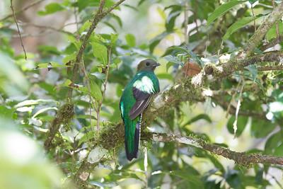 Resplendent Quetzal - Female - Savegre, Costa Rica