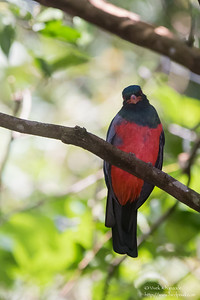 Slaty-tailed Trogon - Barro Colorado Island, Panama