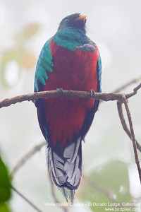 White-tipped Quetzal - El Dorado Lodge, Colombia