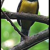 Black-throated Trogon (Trogon rufus)
