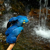 """The Hyacinth Macaw (Anodorhynchus hyacinthinus) is the largest macaw and the largest flying parrot species in the world (however, the flightless Kakapo of New Zealand can weigh up to 3.5kg making it the heaviest). They are also known as """"blue macaws.""""<br /> Professional Wildlife Photography by Christina Craft of the Nature Stock Photography Library"""