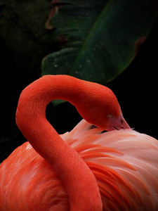 With their bright feathers and strongly hooked bills, flamingos are among the most easily recognized waterbirds. Their pink or reddish color comes from the rich sources of carotenoid pigments (like the pigments of carrots) in the algae and small crustaceans that the birds eat. The Caribbean flamingos Phoenicopterus ruber ruber are the brightest, showing their true colors of red, pink, or orange on their legs, bills, and faces.