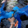 A pair of hyacinth macaws fighting<br /> <br /> Professional Wildlife Photography by Christina Craft of the Nature Stock Photography Library