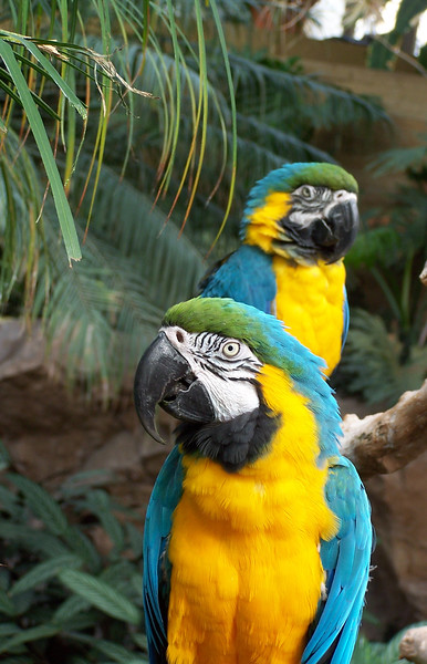 The Blue-and-yellow Macaw (Ara ararauna), also known as Blue-and-gold Macaw, is a member of the macaw group of parrots which breeds in the swampy forests of tropical South America from Panama south to Brazil, Bolivia and Paraguay.