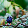 tanager photograph 256