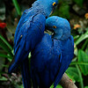 "The Hyacinth Macaw (Anodorhynchus hyacinthinus) is the largest macaw and the largest flying parrot species in the world (however, the flightless Kakapo of New Zealand can weigh up to 3.5kg making it the heaviest). They are also known as ""blue macaws.""<br /> Professional Wildlife Photography by Christina Craft of the Nature Stock Photography Library"