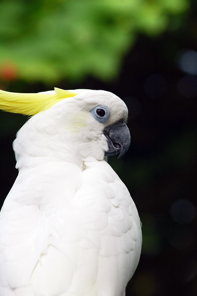 Sulphur Crested Cockatoo - Nature Stock Image by Professional Nature Photographer Christina Craft
