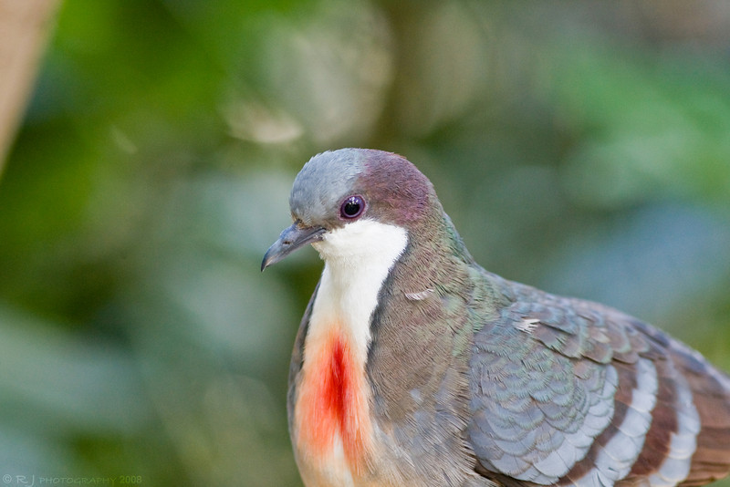 A vibrant Bleeding-Heart dove at the Minnesota zoo aviary. The coloring is so realistic that a man once captured one of these birds and brought it to the front, telling zookeepers that the bird was injured!