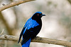 A fairy bluebird at the Minnesota zoo aviary.