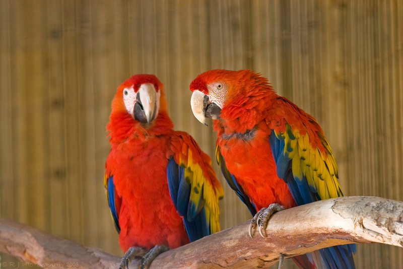 Two scarlet macaw parrots at the Sonoran Desert museum.