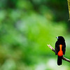 red-breasted black bird 552