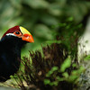 Violet Plantain Eater - Nature Stock Image by Professional Nature Photographer Christina Craft<br /> <br /> <br /> The violet plantain eaters tend to keep to themselves but when they fly, they display spectacular red flashes on the outer 1/3 of their wings.  They are members of the Turaco Family and are about 17 inches long with unusually silky plumage.  The main body and tail color is purple with red on top of their heads, red on lower edges of the wings (male only), and a white horizontal stripe under the yellow eye surround.  They have no eyelashes.  Their heavy bill is yellow with orange at the tip and has a horny plate extending from the upper mandible to the forehead.<br /> <br />  <br /> <br /> In the wild, they can be found in West Africa from Gambia and Senegal east to Cameroon.  They prefer open woodland, riverine forest and a humid forest edge.  They are shy perching birds that prefer to stay out of sight in the dense canopy of tall trees where they run along the branches searching for fruits.<br /> <br />  <br /> <br /> They often travel in flocks of 10 or 12 birds.  Their nests are shallow and the clutch usually consists of 2 nearly spherical white eggs.  Incubation takes 21-24 days with the nesting period of about 4 weeks and it takes the young almost a year to develop full coloration.  The birds main call is a long series of deep, gargling cou-cou-vhou notes that run into each other, producing a pulsing roar when two birds call at the same time.