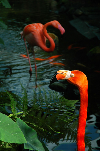 Flamingo - two flamingos in a brooke or stream in the rainforest jungle tropical humid bird birds - Nature Stock Image by Professional Nature Photographer Christina Craft