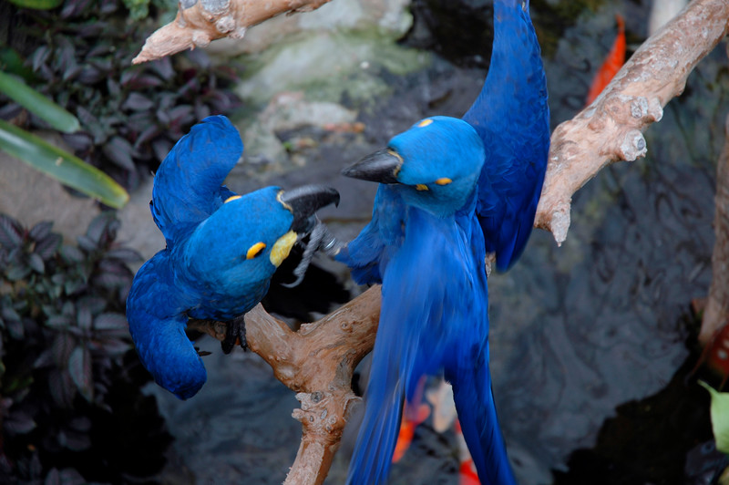 Two hyacinth macaws<br /> Professional Wildlife Photography by Christina Craft of the Nature Stock Photography Library