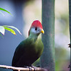 Violet Plantain Eater - Nature Stock Image by Professional Nature Photographer Christina Craft <br /> <br /> The violet plantain eaters tend to keep to themselves but when they fly, they display spectacular red flashes on the outer 1/3 of their wings.  They are members of the Turaco Family and are about 17 inches long with unusually silky plumage.  The main body and tail color is purple with red on top of their heads, red on lower edges of the wings (male only), and a white horizontal stripe under the yellow eye surround.  They have no eyelashes.  Their heavy bill is yellow with orange at the tip and has a horny plate extending from the upper mandible to the forehead.<br /> <br />  <br /> <br /> In the wild, they can be found in West Africa from Gambia and Senegal east to Cameroon.  They prefer open woodland, riverine forest and a humid forest edge.  They are shy perching birds that prefer to stay out of sight in the dense canopy of tall trees where they run along the branches searching for fruits.<br /> <br />  <br /> <br /> They often travel in flocks of 10 or 12 birds.  Their nests are shallow and the clutch usually consists of 2 nearly spherical white eggs.  Incubation takes 21-24 days with the nesting period of about 4 weeks and it takes the young almost a year to develop full coloration.  The birds main call is a long series of deep, gargling cou-cou-vhou notes that run into each other, producing a pulsing roar when two birds call at the same time.