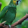 Green parrot yawning funny bird picture - Nature Stock Image by Professional Nature Photographer Christina Craft