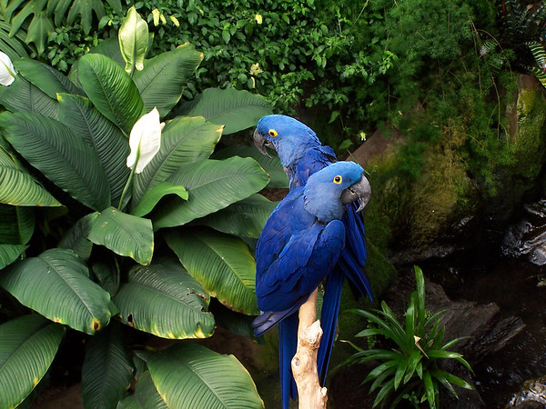The Hyacinth Macaw (Anodorhynchus hyacinthinus) is the largest macaw and the largest flying parrot species in the world (however, the flightless Kakapo of New Zealand can weigh up to 3.5kg making it the heaviest). <br /> <br /> Professional Wildlife Photography by Christina Craft of the Nature Stock Photography Library