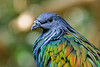 A Nicobar pigeon poses at the Minnesota Zoo aviary. What striking colors!