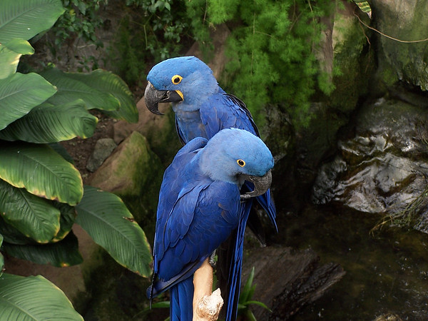 Hyacinth Macaws<br /> Professional Wildlife Photography by Christina Craft of the Nature Stock Photography Library