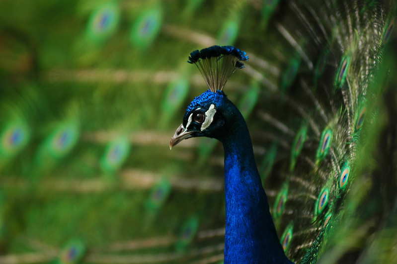 Peacock<br /> Professional Wildlife Photography by Christina Craft of the Nature Stock Photography Library