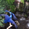 Hyacinth Macaws bickering<br /> <br /> Professional Wildlife Photography by Christina Craft of the Nature Stock Photography Library