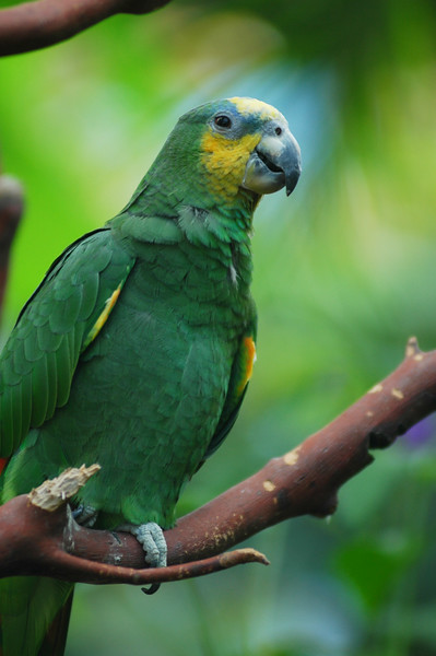 green parrot tropical bird - Nature Stock Image by Professional Nature Photographer Christina Craft