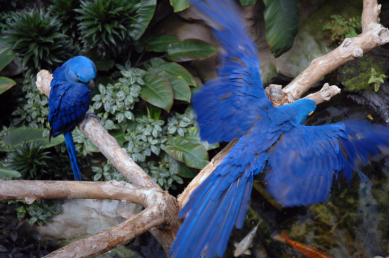 hyacinth macaws (sometimes called blue macaws)<br /> <br /> Professional Wildlife Photography by Christina Craft of the Nature Stock Photography Library