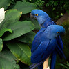 The Hyacinth Macaw (Anodorhynchus hyacinthinus) is the largest macaw and the largest flying parrot species in the world (however, the flightless Kakapo of New Zealand can weigh up to 3.5kg making it the heaviest). <br /> Professional Wildlife Photography by Christina Craft of the Nature Stock Photography Library