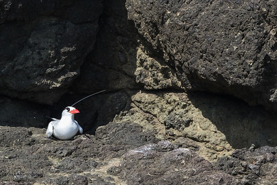 Red-billed Tropicbirds - Little Tobago Island, Tobago