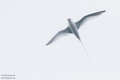 Red-billed Tropicbird - Galapagos, Ecuador