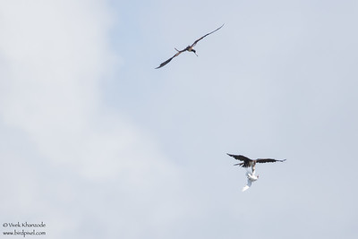 Magnificent Frigatebirds harassing Red-billed Tropicbird - Little Tobago Island, Tobago