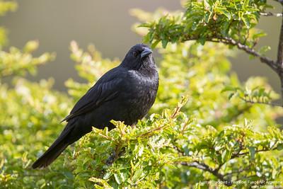 Austral Blackbird - Tierra del Fuego NP, Argentina