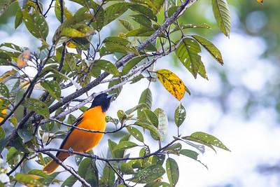 Baltimore Oriole - San Jose, Costa Rica