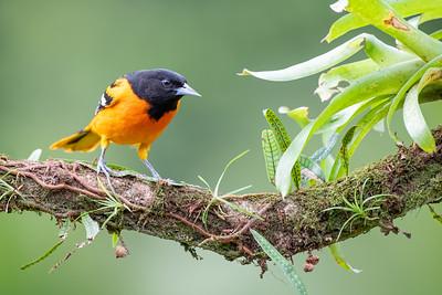 Baltimore Oriole - Alajuela, Costa Rica