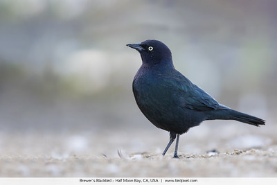 Brewer's Blackbird - Half Moon Bay, CA, USA