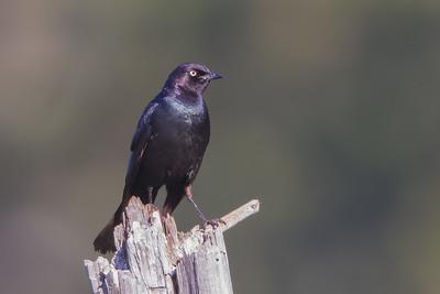 Brewer's Blackbird - Sierra Valley, CA, USA