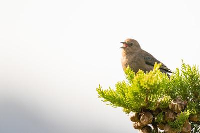 Brown-headed Cowbird - San Mateo, CA, USA