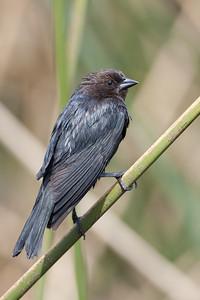 Brown-headed Cowbird - Sunnyvale, CA, USA