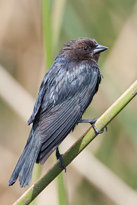 Brown-headed Cowbird - Sunnyvale, CA, USA