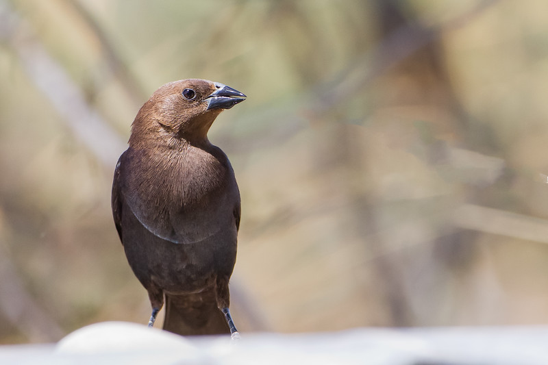 Brown-headed Cowbird - Sierra Vista, AZ, USA