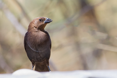 Brown-headed Cowbird - Sierra Vista, AZ, USA