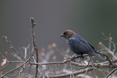 Brown-headed Cowbird - Grayling, MI, USA