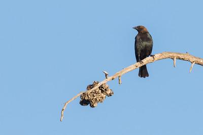 Brown-headed Cowbird - Mountain View, CA, USA