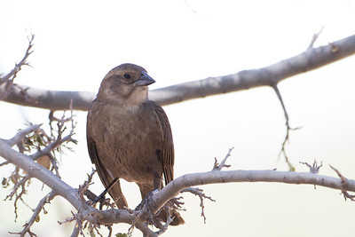 Brown-headed Cowbird - Female - San Pedro House, Sierra Vista, AZ, USA