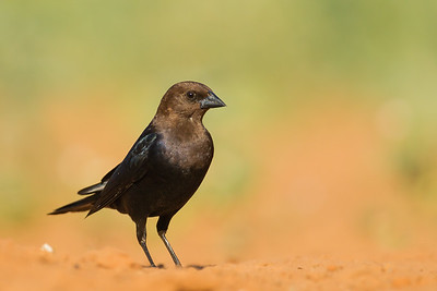 Brown-headed Cowbird - Laguna Seca Ranch, Edinburg, TX, USA