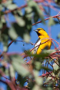 Bullock's Oriole - Ed Levin County Park, Milpitas, CA, USA