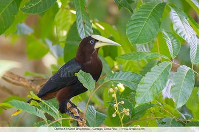 Chestnut-headed Oropendola - Cartago, Costa Rica