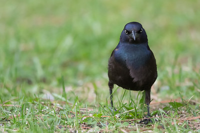 Common Grackle - Male - Grayling, MI, USA