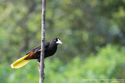 Crested Oropendola - Asa Wright Nature Center, Trinidad