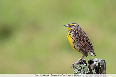 Eastern Meadowlark - Cartago, Costa Rica